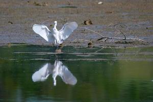 garzetta bianca sul lago foto