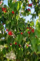 ramo di ciliegio con ciliegie foto