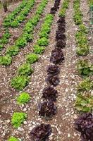 la piantagione di insalata foto