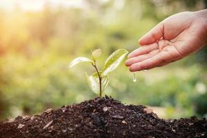 innaffiare a mano le giovani piante che crescono in sequenza di germinazione su un terreno fertile allo sfondo del tramonto foto