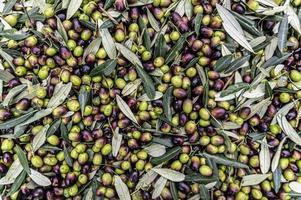 consistenza dell'oliva appena raccolta foto