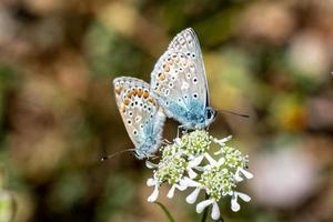 le farfalle che si accoppiano foto