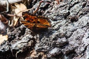farfalla sulla corteccia foto