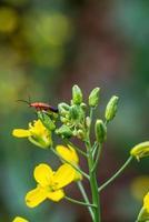 rhagonycha fulva su fiore giallo foto
