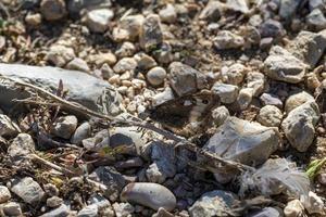 hipparchia semele farfalla appoggiata a terra foto