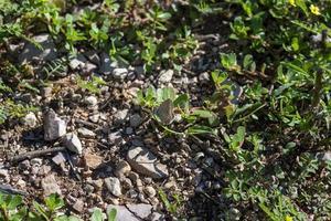 Polymmatus iacarus farfalla appoggiata a terra foto