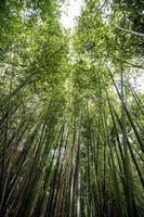 canne di bambù viste dal basso foto