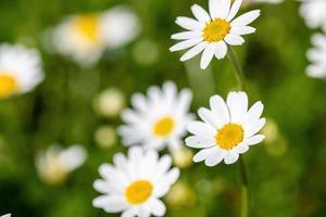 fiore di margherite per la preparazione dell'infuso di camomilla foto