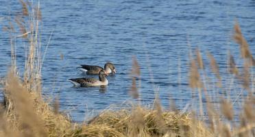 il graylag galleggia di fronte a una canna marrone con molto spazio per il testo su un lago calmo foto