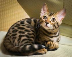 simpatico gattino bengala sdraiato sulla sedia bianca. foto