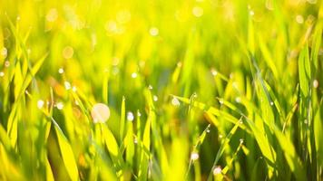 erba verde mattutina al sole con gocce di rugiada e bellissimo sfondo bokeh foto