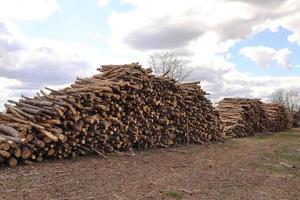 vista laterale di legname commerciale, tronchi di pino dopo il taglio netto della foresta. deforestazione incontrollata. messa a fuoco selettiva. foto