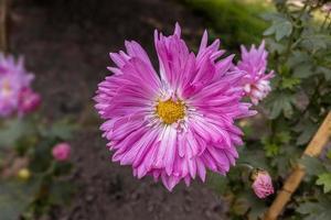 primo piano di un bellissimo fiore di crisantemo rosa con foglie verdi fiorisce in giardino. foto