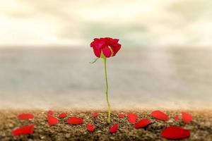 una rosa romantica sulla terra dell'amore che è fatta come simbolo di amore e libertà. foto