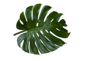 le foglie verdi di monstera nella foresta tropicale sono piante di formaggio svizzero separate su uno sfondo bianco. foto