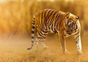 tigre, che cammina nella luce dorata è un'estate di caccia di animali selvatici in zone calde e secche e bellissime strutture di tigre foto