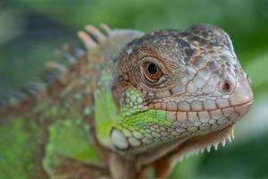 lucertola, animale, lucertola verde con sfondo sfocato foto