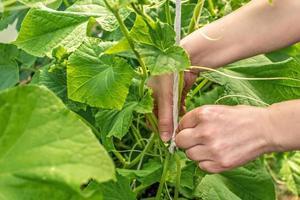 mano delle donne che legano i cetrioli in giardino foto