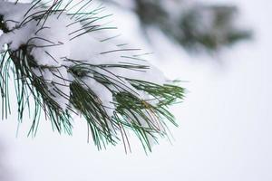 brunch di aghi di pino coperti di neve foto