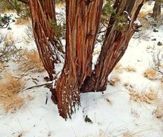 ginepro invernale a sawyer park bend o foto