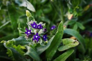 fiore di campo blu con sfondo di insetti e foglie lunghe foto