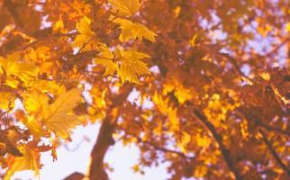 foglie gialle autunnali contro il cielo blu sullo sfondo della foresta autunnale foto