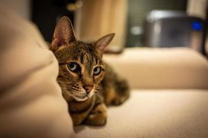 foto di un gatto della savana