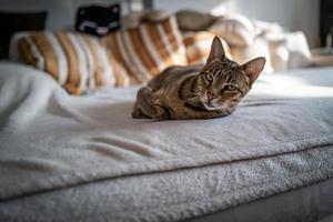 un simpatico gatto della savana su un divano foto