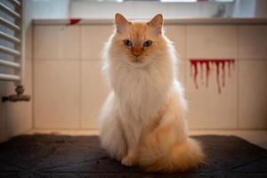 foto al coperto del sacro gatto di Birmania