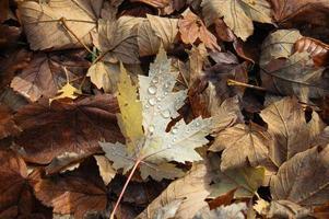 foglie autunnali del bosco foto