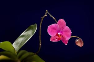 orchidea rosa isolata su sfondo nero foto
