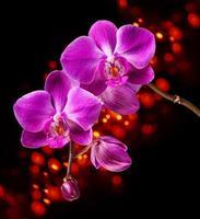 orchidea rosa su sfondo scuro foto