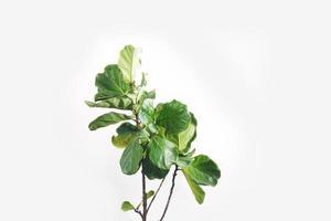 foglie verdi di ficus lyrata a foglia di violino. fiddle foglia albero di fico su sfondo bianco. foto