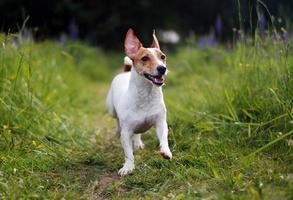 jack russell terrier che gioca nell'erba foto