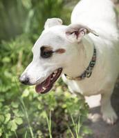 cane bianco razza jack russell terrier foto
