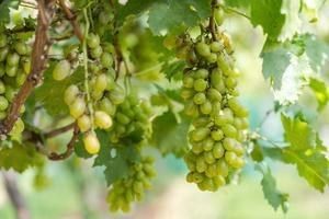 vigneto con uve da vino bianco in campagna, grappoli d'uva soleggiati appesi alla vite foto