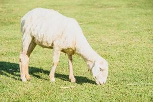 pecore sull'erba verde foto