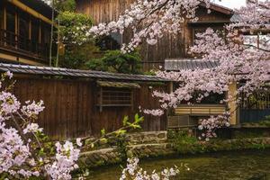 fiori di ciliegio sul fiume shirakawa a gion, kyoto, giappone foto
