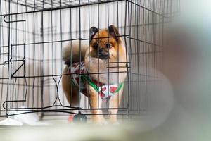 simpatico cane pomeranian nella gabbia nel salone di bellezza per cani foto