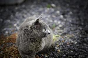 gatto grigio per strada foto