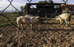 maiali in una fattoria di animali foto