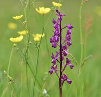 jersey orchidea jersey regno unito fiori di campo primaverili foto