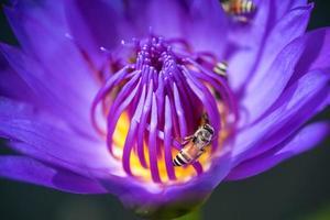 le api prendono il nettare dalla bellissima ninfea viola o dal fiore di loto. macro immagine dell'ape e del fiore. foto