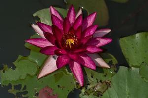 bella ninfea o fiore di loto in stagno. foto