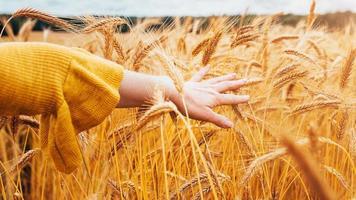 una donna cammina attraverso un campo agricolo con grano maturo alla fine dell'estate accarezzando spighe di grano con mano gentile - amore e cura del contadino foto