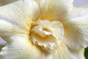 fiore di rose del deserto foto