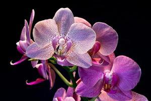 phalaenopsis. fiore di orchidea foto