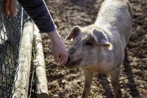 allevamento di maiali foto