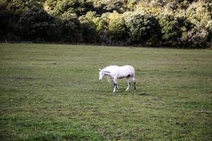 campo di cavalli selvaggi foto