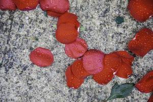 petali rosa bagnati foto